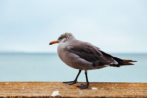 Seagull on Wooden Rail
