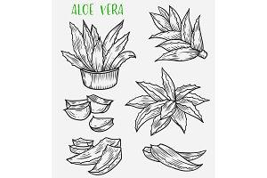 Aloe vera plant sketch, skincare, cosmetic plant