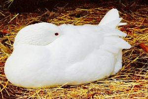 Barnyard Duck