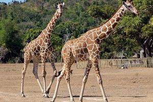 group of Rothschild's giraffes