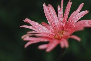 Pink Grebera Daisywith Raindrops