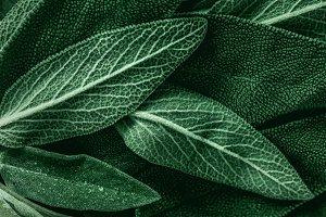 Macro photography of fresh sage