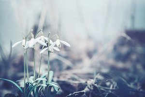 Close up of snowdrops flowers