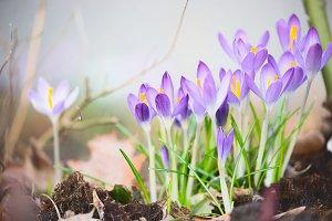 First spring crocuses flowers
