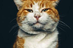 Ginger Sirius Cat Portrait