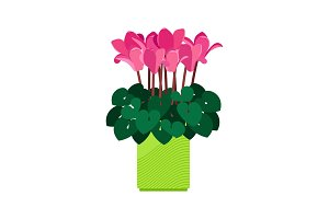 Cyclamen house plant