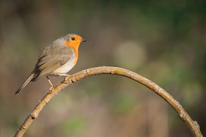 robin bird or Robin Redbreast