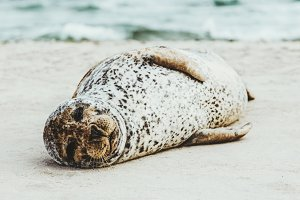 Harbor Seal funny animal sleeping