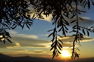 olive branches at sunset