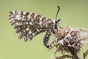 Zerynthia rumina, butterfly