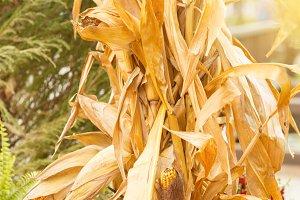 Drought yellowed corn in autumn