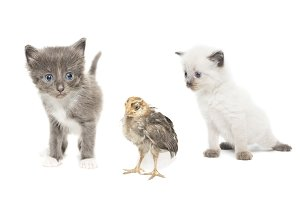 Kittens and chicken