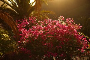 pink flowers at sunset in Tenerife Canary Islands