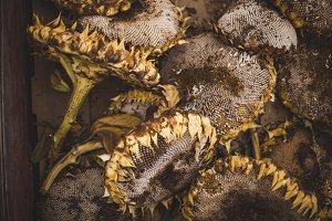 Fall Sunflower heads