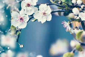 Close up of cherry blossom , frame