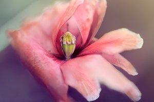 Spring vintage closeup poppy blowing