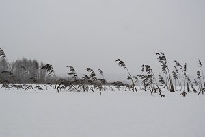 Dried cattails covered with snow and