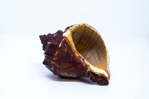 Beautiful Sea shell