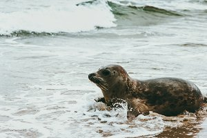 Seal animal at seaside of Grenen