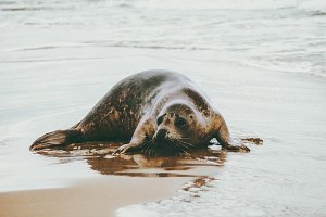 Ringed Seal funny animal on beach