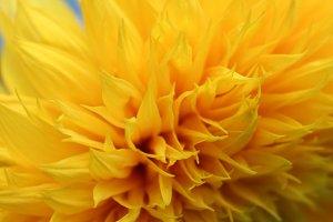 Helianthus petals