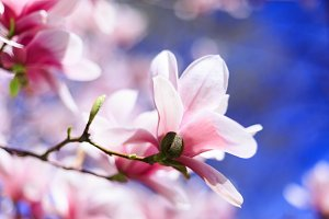 Spring flowers - Pink Magnolia