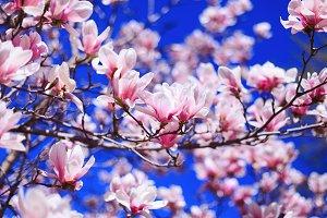 Flowers of pink Magnolia on blue sky
