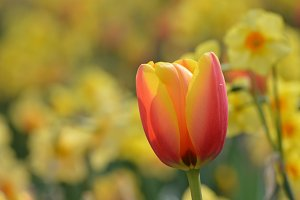 Sunny Red and Yellow Tulip
