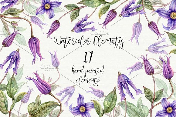 Watercolor botanical png. Clematis