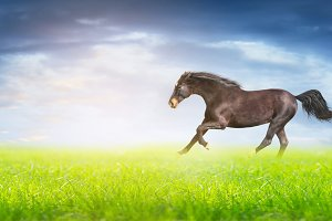 Black running horse on green field