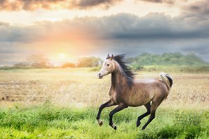 Arabian horse running on meadow