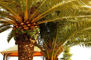 Palms tree full sun