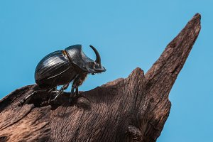 Rhinoceros beetle on a trunk of dry