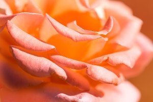 Pink rose petals close up.