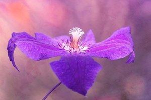 Beautiful flower, purple clematis