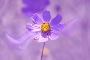 Flower cosmos purple toning