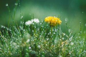 Dandelion and Daisy in the rain.