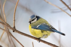 tit on a branch