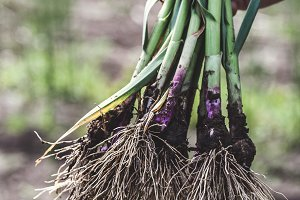 Garlic Greens with Dirt