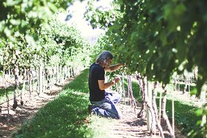 Man tends to his grapevines