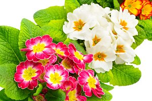 Colorful fresh primula