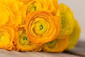 Yellow ranunculus. Closeup