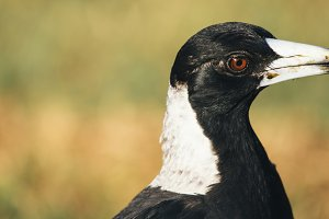 Australian magpie outdoors