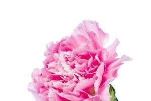 carnation flower isolated on white b