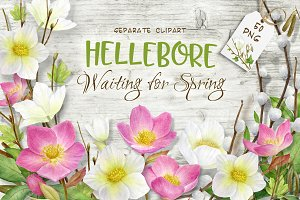 Hellebore.Waiting for spring clipart