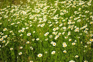 Chamomile flowers on a meadow