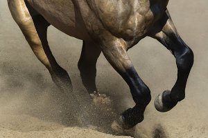 Black legs of running dun horse
