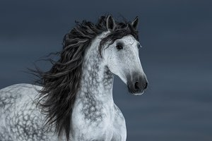 Portrait of gray long-maned horse