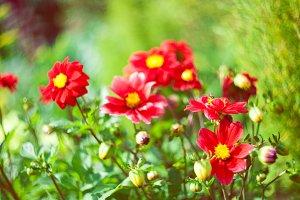 Cosmos flowers blooming in the field