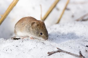 mouse in the snow